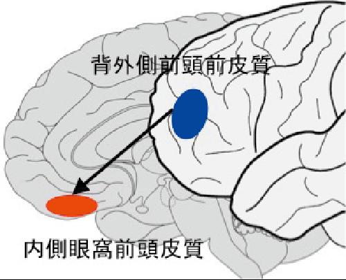 図2 美の体験に関係する脳部位