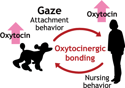 図1 ヒトとイヌとの視線とオキシトシンを介した絆形成の概念図