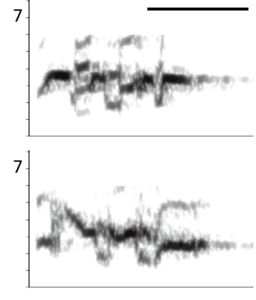 図1 セキセイインコの発声の例。上下はそれぞれ異なるトリのコール。縦軸は音高,横軸は時間,濃淡は音圧を表す(サウンドスペクトログラム)。縦軸の単位はkHz。右上の横棒の長さは100ミリ秒。