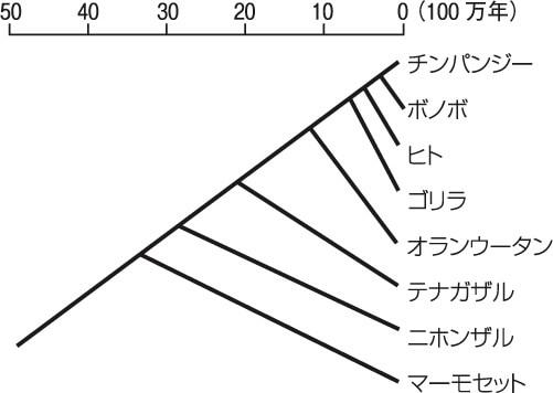 図1 マーモセットとヒトの系統発生的関係(年代は目安)