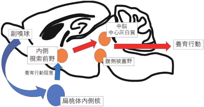 図2 養育に関連する脳部位(マウス)