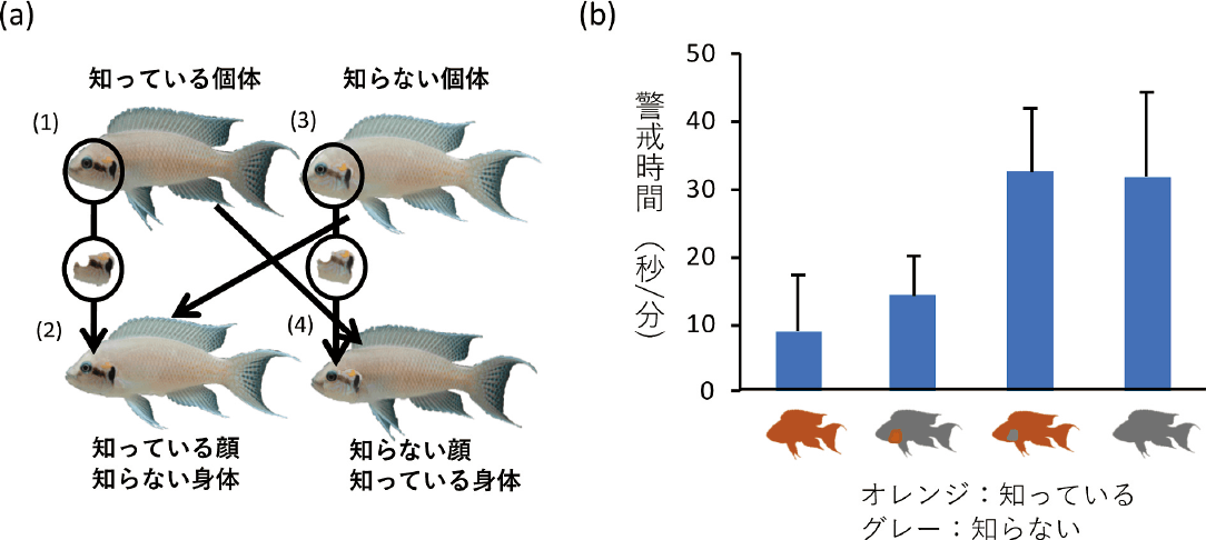 図2 N. pulcherを対象とした実験の概要(Kohda et al., 2015)