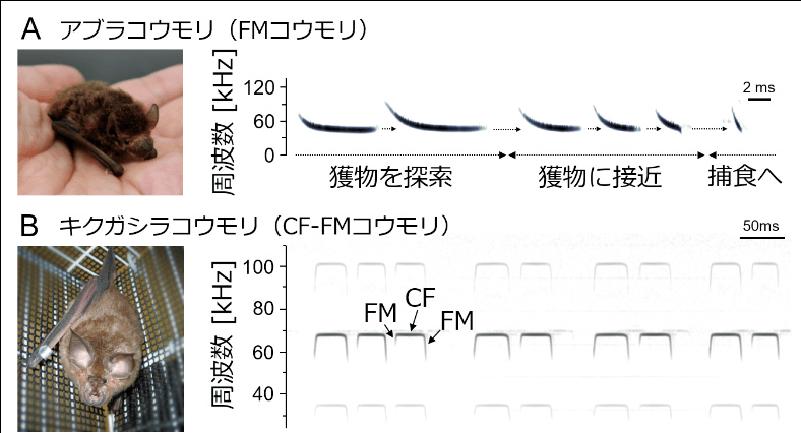 図1 FMパルスを用いるアブラコウモリ(A)とCF-FMパルスを用いるキクガシラコウモリ(B)の放射パルスのスペクトログラム(横軸:時間,縦軸:周波数)の例