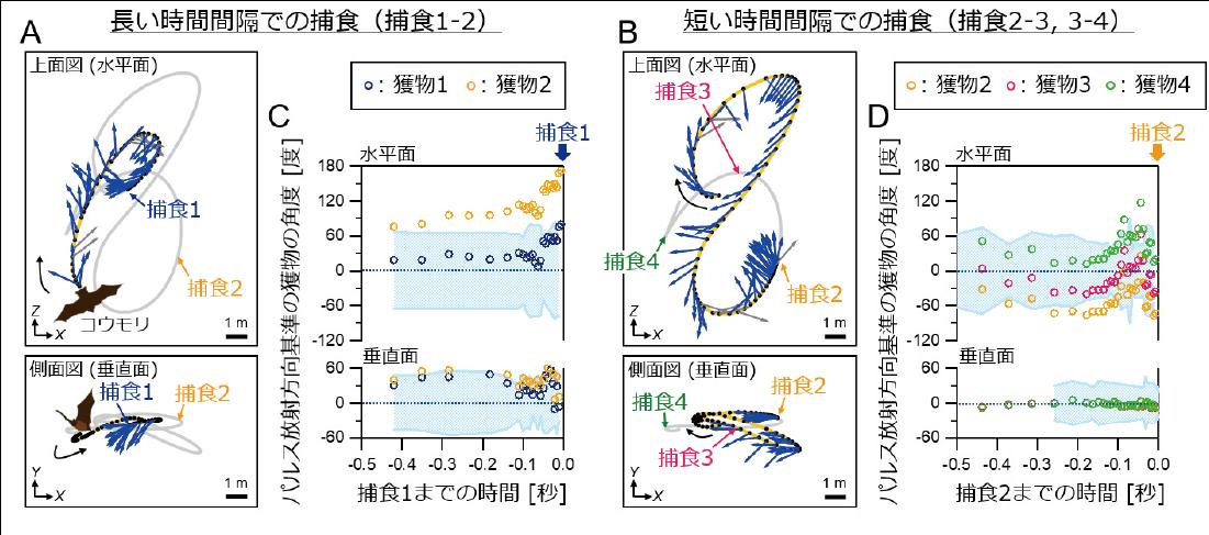 図2 (A, B)アブラコウモリが野外において4匹の獲物を連続して捕食した際の飛行ルート(黄色,灰色線)とパルス放射方向(青矢印)の上面図と側面図