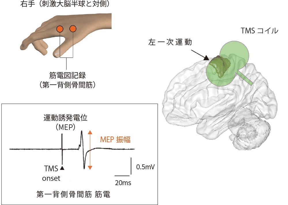 図1 TMSと運動誘発電位について